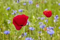 Blumenwiese mit Wildblumen