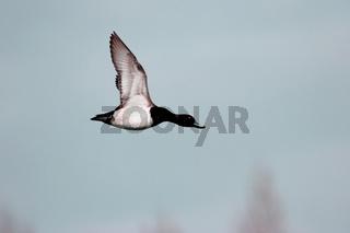 Reiherente  'Aythya fuligula' fliegend