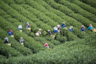 THAILAND CHIANG RAI MAE SALONG TEA PLANTATION