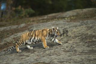 auf Streifzug... Königstiger *Panthera tigris*