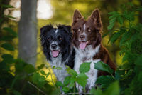 BENZ KERSTIN - BORDER COLLIE-5.jpg