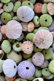 Collection of colorful sea urchin shells
