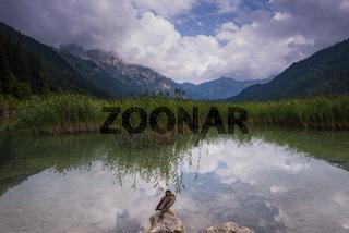 Ente, (Anas platyrhynchosnte), Haldensee, Tannheimer Tal, Tannheimer Berge, Allgäuer Alpen, Tirol, Österreich, Europa