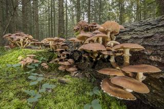 Pilzkolonie am Totbaum | Hallimasch (Armillaria)