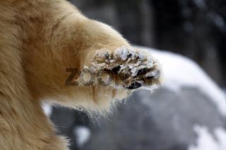 Icebear paw closeup