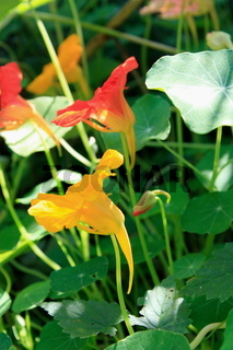 Kapuzinerkresse, Blüten