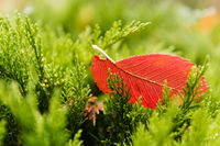 Red tree leaf is laying on a green tree in autumn