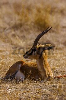 Chinkara, Gazella bennettii or Indian gazelle