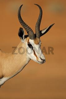 Springbok portrait