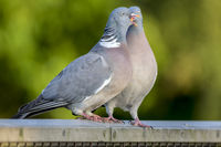 A Pair of Courting Wood Pigeons