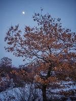 Mond im Winter im Eichenwald