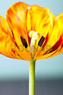 Tulpenblüte hochkant V2