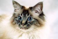 HEILIGE BIRMA KATZE, BIRMAKATZE, SACRED CAT OF BIRMA, BIRMAN CAT, SEAL-TABBY-POINT, PORTRAIT,,