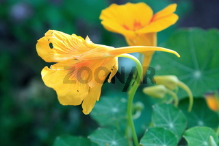 gelbe Blume, Kapuzinerkresse