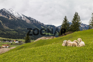 Schafe, ruhend, Tannheimer Tal, Tirol, Oesterreich