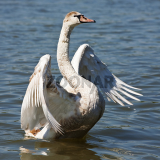 Schwan / swan