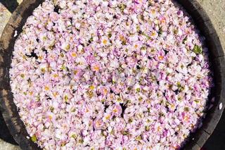 Pink rose blossom in pot-still