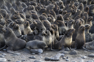 group of young northern fur seal rookery on autumn day