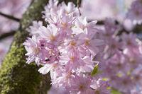 Blühende Zierkirsche (Prunus )