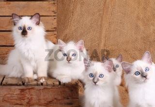 HEILIGE BIRMA KATZE, BIRMAKATZE, SACRED CAT OF BIRMA, BIRMAN CAT, LITTER,