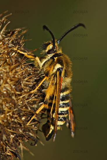 Hornklee-Glasfluegler, Bembecia ichneumoniformis, six-belted clearwing