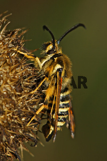 Hornklee-Glasfluegler, Bembecia ichneumoniformis, six-belted clearwing