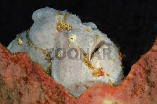 Sommersprossen Anglerfisch
