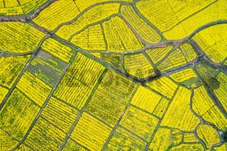 aerial view of rapeseed flower blooming in farmland