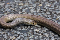Dangerous Dugite snake lying on the road, Western Australia