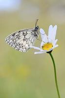 Blütentraum... Schachbrettfalter * Melanargia galathea * ruht auf Margeritenblüte