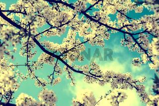 Sakura flower cherry blossom