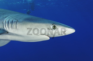 Prionace glauca, Blauhai, blue shark