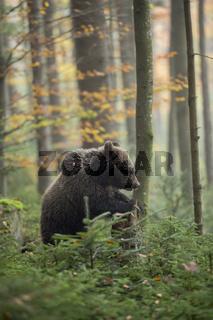 im Herbstwald... Europäischer Braunbär *Ursus arctos*