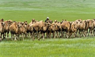 Herde von Trampeltieren in der mongolischen Steppe, Mongolei