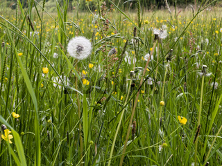 Wiese mit Wiesenblumen, meadow with wild flowers