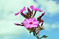 Pink flowers of phlox.