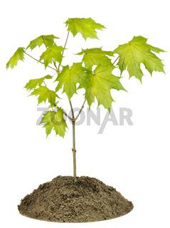 Spring maple tree macro texture