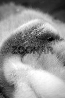 Schlafendes Schwanenkueken