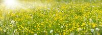 Frühlingswiese mit Blumen und Sonnenstrahlen
