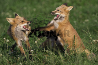 Rotfuchs, (Vulpes vulpes), red fox
