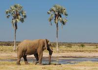 Namibia, Etosha, Elefant