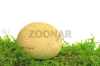 Kartoffelbovist (Scleroderma citrinum)