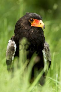 African Bateleur Eagle ( Terathopius ecaudatus)