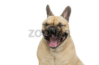 Portrait of beautiful young French buldog girl dog yawning. Isolated over white background. Studio shot. Copy space.