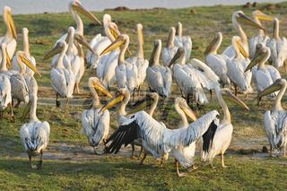 Rosapelikane (Pelecanus onocrotalus), Chobe Fluss, Chobe National Park, Botswana, Afrika, White Pelicans or Eastern White Pelicans or Great White Pelicans, Chobe River, Africa