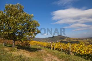 Herbstlandschaft  mit Edelkastanienbaum, Südpfalz