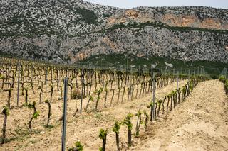 Weinberg bei Dorgali, Sardinien