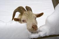 Ziege im Schnee