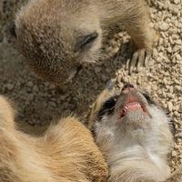 Erdmännchen Kind zeigt Zähne der Mutter
