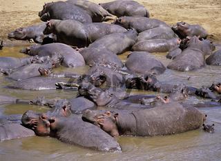 Flußpferde, Kenia